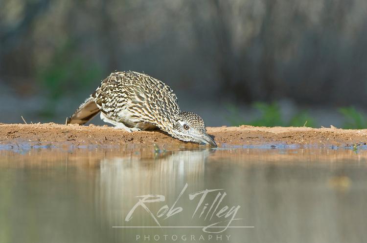 Texas, Rio Grande Valley, Santa Clara Ranch, Roadrunner Drinking at Waterhole