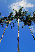 View of Palm Trees Against Blue Sky and White Clouds; Hilo, Hawaii. Hilo Hawaii