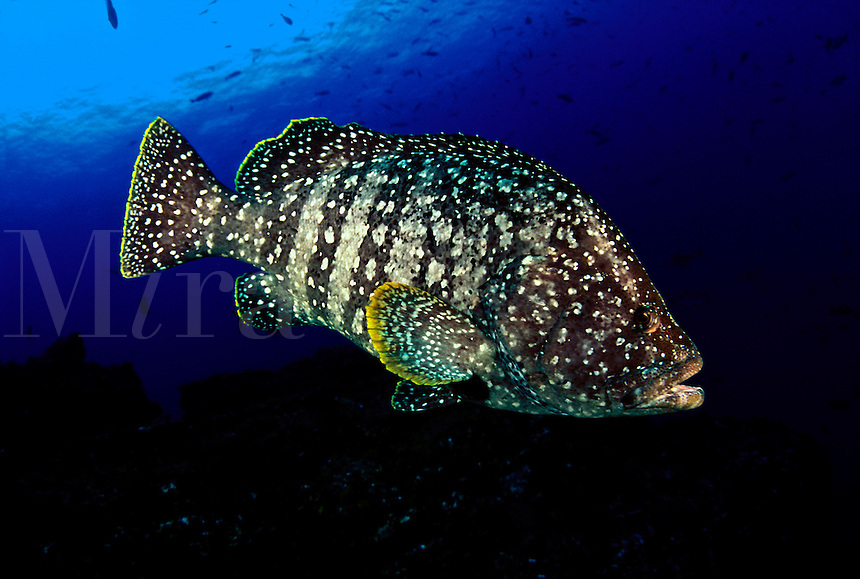 leather bass, Epinephelus dermatolepis, was photographed at a dive site off the Revillagigedos Islands, known as ?The Boiler?.  Mexico. tropical Revillagigedos Islands soccoro Socorro mexico solmar V five fish fishes grouper leather bass Epinephelus dermatolepis