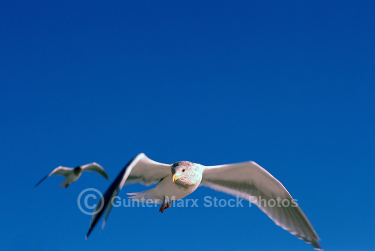 Sea Gulls in Flight along the Pacific West Coast
