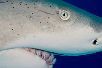 Lemon shark, Negaprion brevirostris, in the Bahamas.
