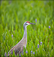 Sandhill Crane standing in Pickerelweed, in profile