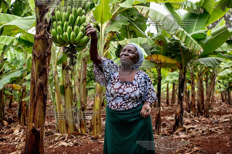 Small scale farmer Mrs Gladys Wandia inspecting a banana crop.