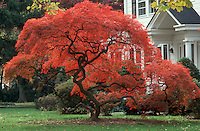 Japanese Maple in amazing red fall foliage color (Acer palmatum var. dissectum) with house and lawn and shrubs in landscape