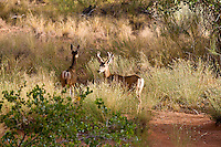 HorseshoeCanyon-mule deer