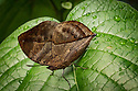 August 9, 2016 / Magic Wings Butterfly Conservatory / South Deerfield, MA / Shown:  Indian Leaf /  Photo by Bob Laramie/  Photo by