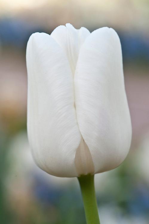 Tulipa 'White Dream', early April.