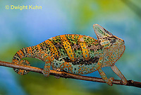 CH39-521z  Male Veiled Chameleon in display colors, Chamaeleo calyptratus
