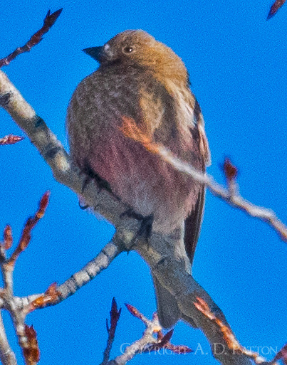 Female brown-capped rosy-finch