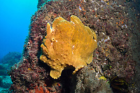 Commerson's frogfish or giant frogfish, Antennarius commerson, Cook Island Marine Reserve, Tweed Heads, New South Wales, Australia, South Pacific Ocean