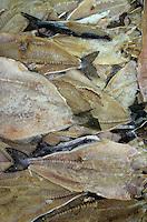 Europe/Norvège/Iles Lofoten/Ballstad : Pêcherie - Salage du skrei-cabillaud