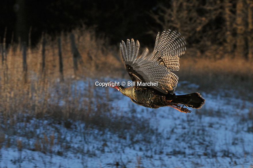 01225-091.05 Wild Turkey tom in flight is lit by low light as it is about to clear fence.  Snow, action, fly, gobbler, spring, cold.  H3L1