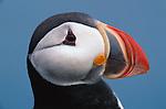 Atlantic puffin, Iceland