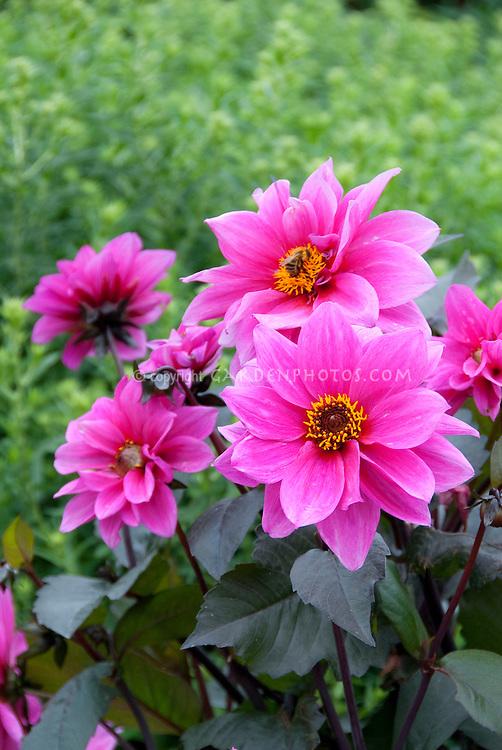Dahlia 'Fascination' (AGM) (SWL/DwB) single pink flowers with dark purple black foliage leaves . Waterlily dahlia, WL