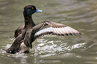 Male Lesser Scaup flapping wings in brackish water