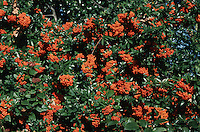 Pyracantha Mojave in fruit berries