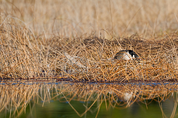Canada goose (Branta canadensis) sitting on nest.  Western U.S., spring.