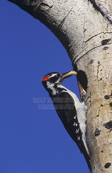 Hairy Woodpecker (Picoides villosus), male with grub prey at nesting cavity, Rocky Mountain National Park, Colorado, USA