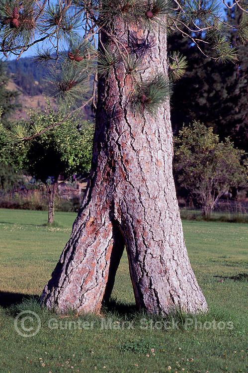 The Entwined Trees, Ponderosa Pine (Pinus ponderosa), at Midway in Kootenay Boundary Region, BC, British Columbia, Canada
