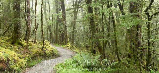 Routeburn Track through native beech forest, Mt. Aspiring National Park, Central Otago, South Island, UNESCO World Heritage Area, New Zealand, NZ