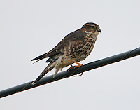 Adult female merlin
