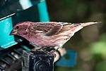 Purple finch at bird feeder