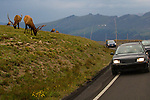 Visitors and bull elk along Trail Ridge Road, Rocky Mountain National Park, Colorado.<br />