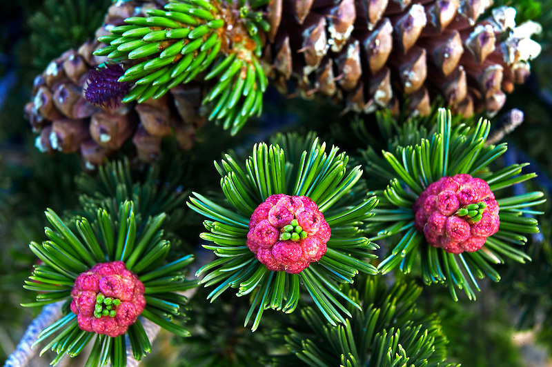 Close up of Bristlecone Pine pollen sacks and cones. Great Basin National Park, Nevada