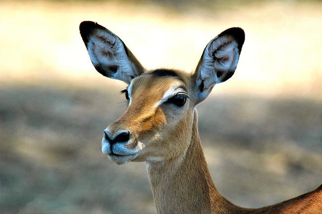 Impala doe, Ruaha River, Tanzania