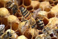 A bee fans a brood frame. ///Une abeille ventile sur un.cadre de couvain.