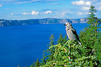 Clark's Nutcracker sitting in top of hemlock tree at Crater Lake National Park, Oregon.  Summer.