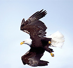 With its phenomenal eyesight and agility, a bald eagle plummets from a height of several thousand feet above the Kenai Peninsula in Alaska.