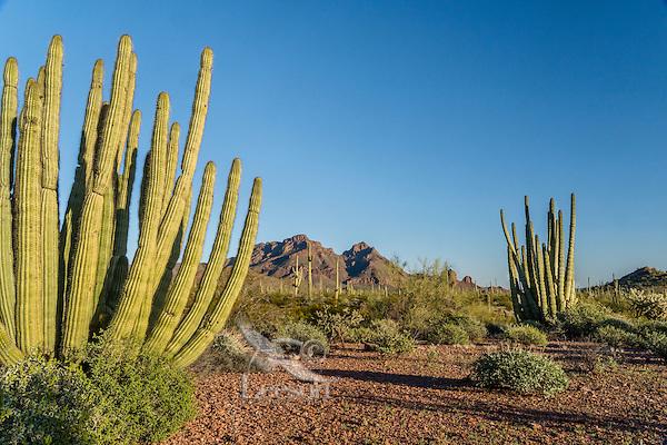 Organ Pipe Cactus along scenic drive--Ajo Mountain Drive--in Organ Pipe Cactus National Monument, Arizona.