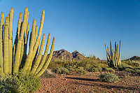 Organ Pipe Cactus along scenic drive--Ajo Mountain Drive--in Organ Pipe Cactus National Monument, Arizona.