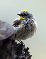 Male yellow-rumped warbler, Audubon's form