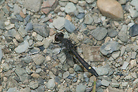 Dot-tailed Whiteface (Leucorrhinia intacta) Dragonfly - Male, Ward Pound Ridge Reservation, Cross River, Westchester County, New York