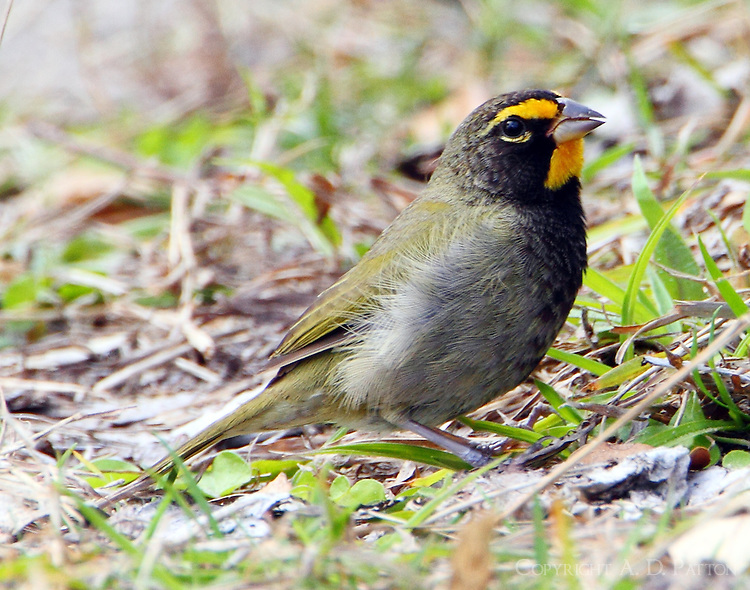 Adult male yellow-faced grassquit. This tropical bird has been hanging out eating grass seeds in the Goose Island State Park near Rockport, TX in February 2011.