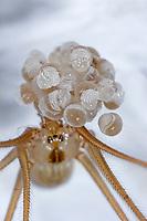 Große Zitterspinne, Grosse Zitterspinne, Weibchen trägt Eikokon Eikokon, Eier, Zitter-Spinne, Pholcus phalangioides, long-bodied cellar spider, longbodied cellar spiderPholcidae, Zitterspinnen