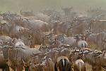 White-bearded wildebeest gather at a crossing of the Mara River, Masai Mara National Reserve, Kenya