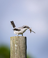Loggerhead Shrike with grasshopper in beak, perched on fence post