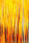 Abstract of colorful Aspens