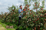 "Pictured: Colin Pratt inspects the crop of cox apples in one of the orchards on the Leckford Estate in Hampshire ahead of the annual harvest next week. <br /> <br /> Nearly 16,000 trees at Leckford will be picked for fruit in this year's harvest, with all the hand-picked produce heading to the shelves in Waitrose stores nationwide.<br /> <br /> Fruit Farm Manager Colin Pratt said ""The rain and cooler nights came just in time after a long, dry spell which has given the cox apples their vibrant red hue"". <br /> <br /> © Jordan Pettitt/Solent News & Photo Agency<br /> UK +44 (0) 2380 458800"