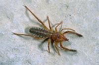 Walzenspinne, Gluvia dorsalis, Galeodes dorsalis, camel spider, wind scorpion, sun spider, solifuge, Walzenspinnen, Solifugae, Solpugida, solifugid, solifugids, camel spiders, wind scorpions, sun spiders, solifuges