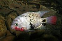 Blackbelt Cichlid (Vieja maculicauda) (c) . A freshwater species.