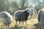 misc sheep