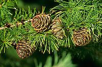 Europäische Lärche, Larix decidua, Zweig mit Zapfen, European Larch
