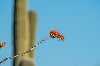 Flowers of Ocotillo, Fouquieria splendens, in Saguaro National Park, Arizona