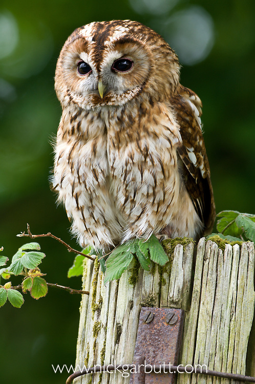 Tawny Owl (Strix aluco) on farmyard post (controlled conditions). Isle of Mull, north west Scotland.
