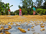 Workers dry and process rice, making elaborate patterns with the grains as they rake and sweep them under the baking sun.  The grains cover an area of almost an acre, and 40 workers can dry up to 1.5 tonnes of rice a day.<br /> <br /> Dry conditions are preferable, and high moisture levels during the summer months see harmful insects and mould develop on the paddy.  These aerial shots were taken by freelance photographer Rezwan Rahman in Gaibandha, Northern Bangladesh.  SEE OUR COPY FOR DETAILS.<br /> <br /> Please byline: Rezwan Rahman/Solent News<br /> <br /> © Rezwan Rahman/Solent News & Photo Agency<br /> UK +44 (0) 2380 458800