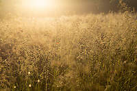 Meadow at sunrise, West Sweden